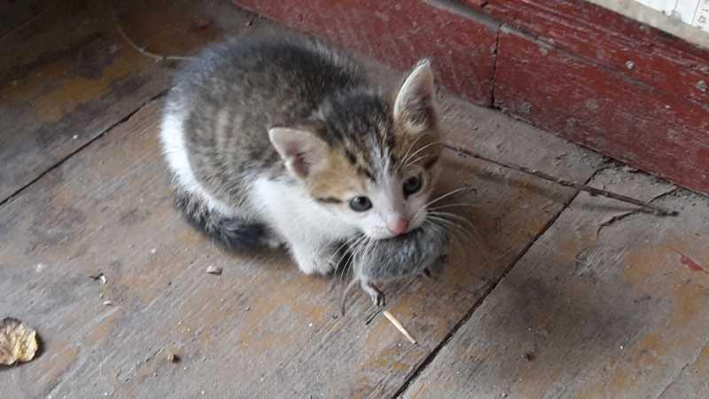 Фото маленький котенок держит большую мышь